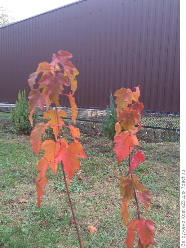 Посаженный весной Клен Гиннала Флейм,радует яркой листвой :)
