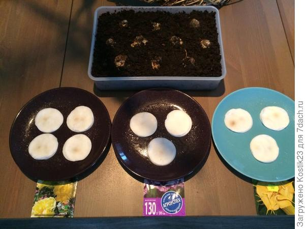 """Посадил луковицы тюльпанов и замочил семена """"Датуры""""на проростание,так как у неё этот процесс порой занимает 3 недели! :)"""