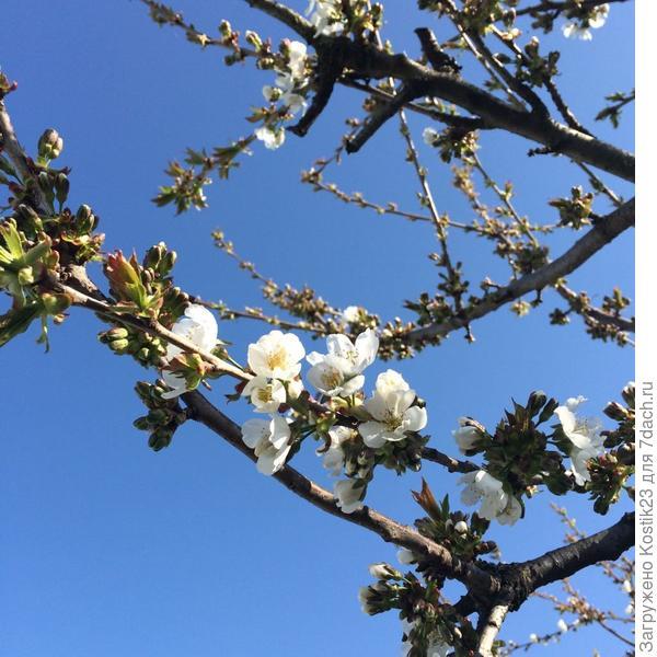А это Вам чуть чуть Весны и только начинающей цвести черешни,первые цветочки :)