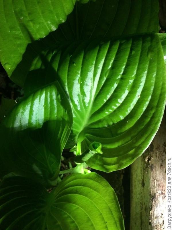 """Ночью листья и новенькие """"трубочки"""" ночью особенно ярко зелёные :)"""