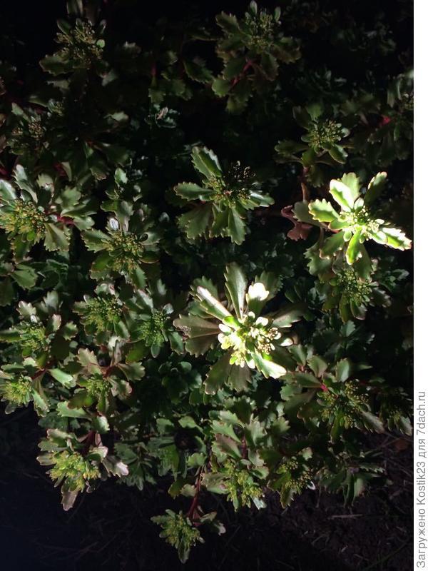 """Резные листья""""Очитка"""" в свете фонарика,но скоро кустики покроются жёлтыми цветочками :)"""