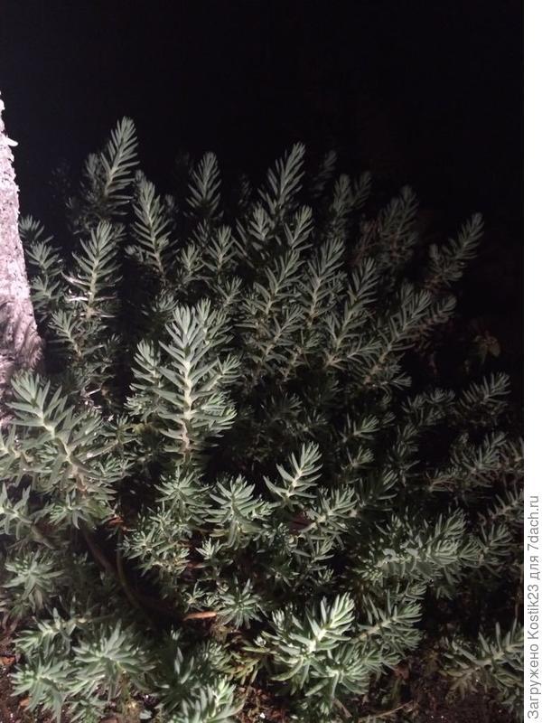 """Ещё один """"Очиток"""" в свете фонарика,в нём живёт сверчок и поёт из этого """"леса"""" ночные песни :)"""
