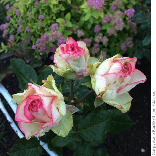 Розы странные но любимые :)