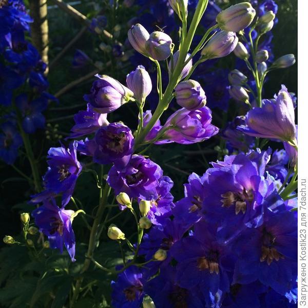 Цветки Дельфиниума...