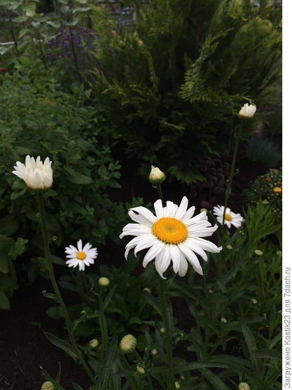 Ромашка садовая :)
