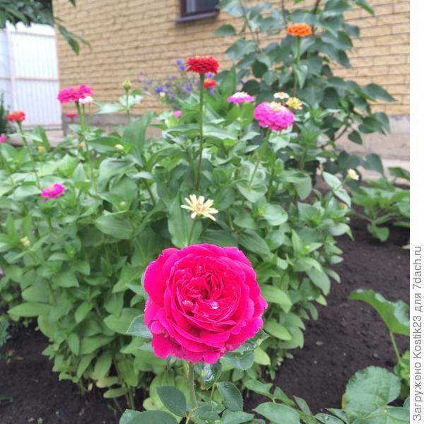 """Распустился первый раз цветок розы """"Фальстаф"""",посаженные в этом году ..."""