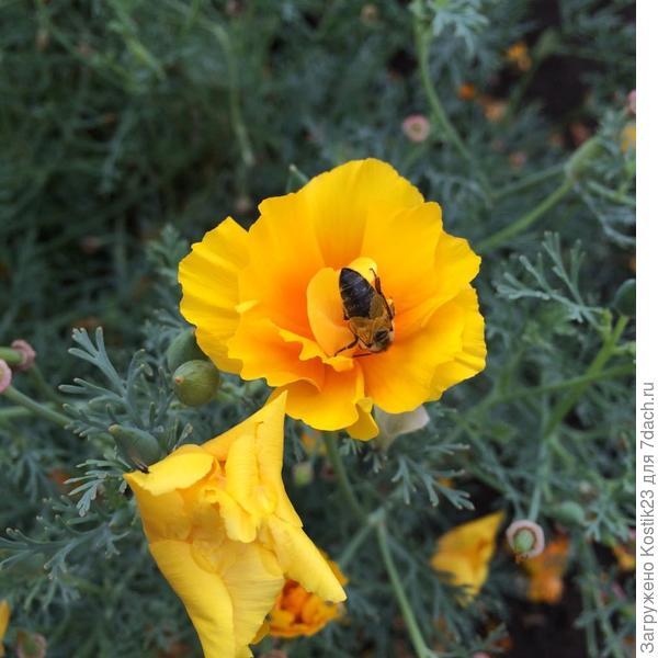 """Не смотря на лёгкий дождик,пчёлки жужукают на цветах  """"Эшшольции""""...:)"""