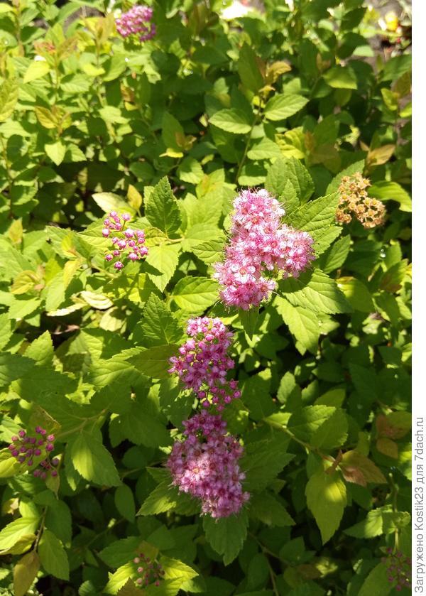 Спирея японская, вторая волна цветения :)