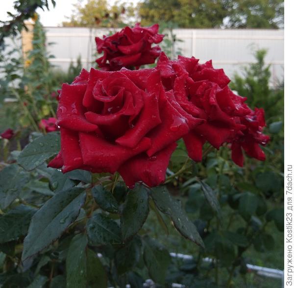 Розы в каплях ночного дождичка ...