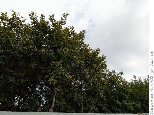 Над забором моим возвышаются ещё несколько ореховых деревьев...