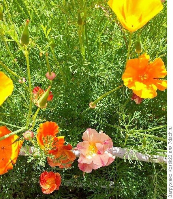 """Некоторые цветы есть махровые и у """"Эшшольции"""""""