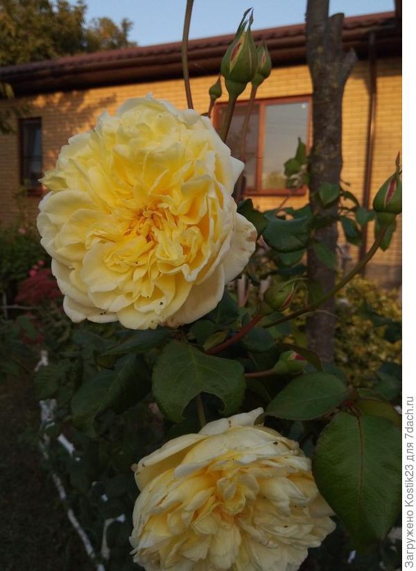 """Роза плетнистая """"Казино""""."""