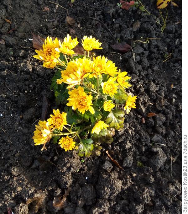 """Хризантема """"Дубки"""" ещё цветут поздние сорта..."""