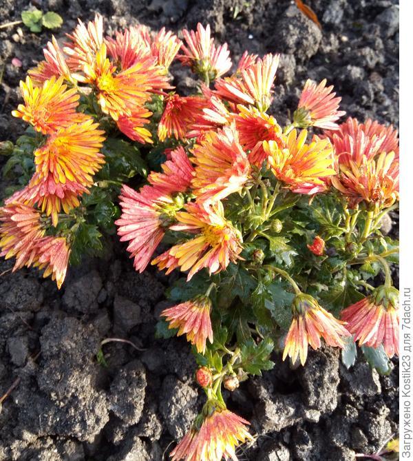 """Хризантема """"Дубки"""" потихоньку отходит и поникают цветочки..."""
