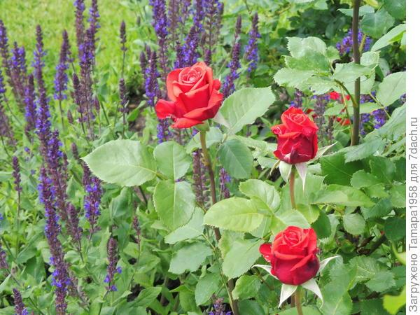 Шалфей с розой