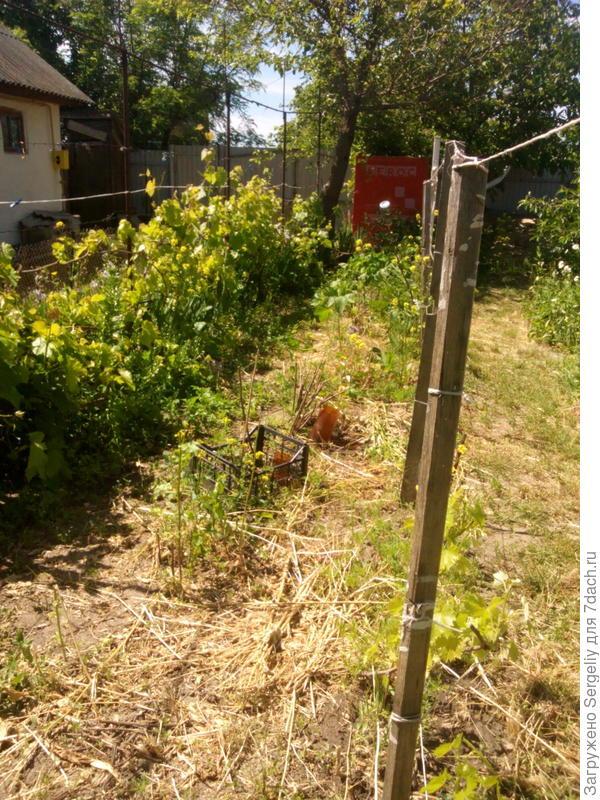 между рядами винограда посеяны сидераты!
