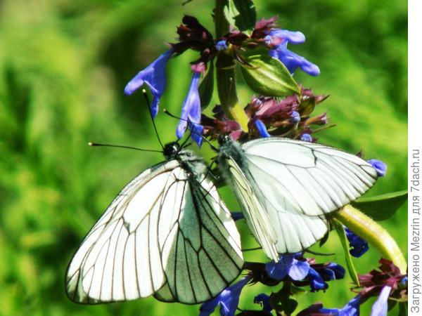Бабочки подружки!