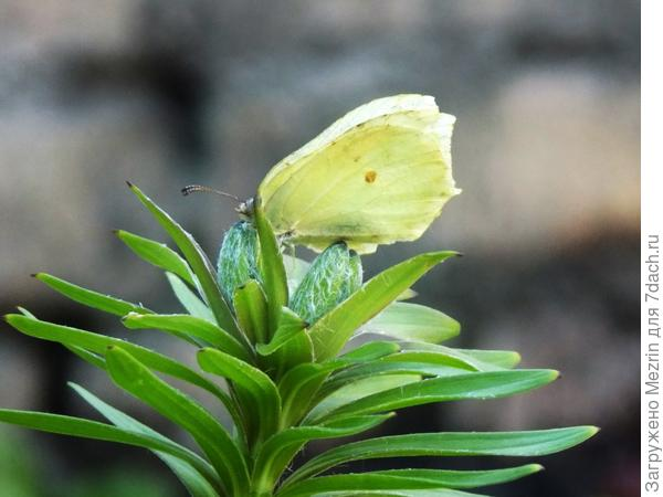 Гостья лилии