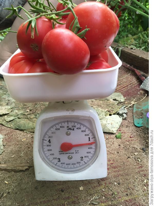 """Взвешивание кисти """"Малиновая империя"""" 19.07.17. В одной кисти цвело 16 соцветий, но увы завязалось и созрело 10 томатов, вес 1 кг.200гр."""