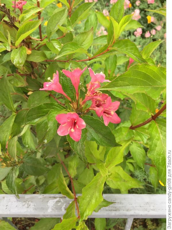 Краснодар,этот куст растёт у соседей в палисаднике,но название узнать не у кого,подскажите,может кто знает