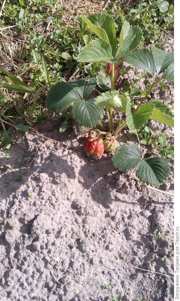 ...это какая то непонятная ягодка)))