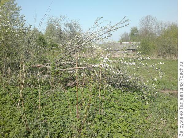 Зимой от снега сломилось дерево...но все равно цветет)))
