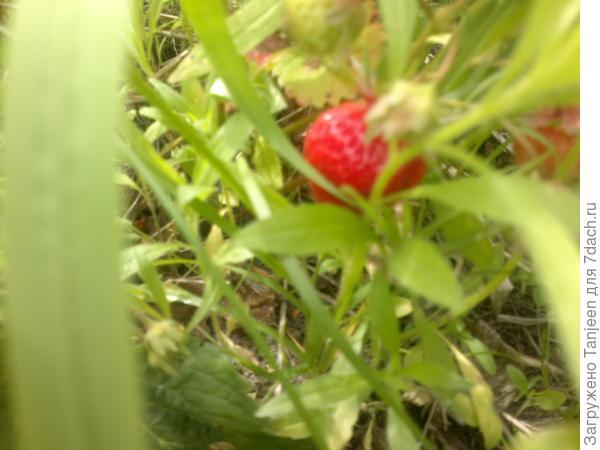 ...все ягодки прячутся в самых настоящих зеленых дебрях,но...от зоркого ока половиночки вкусняшкам не спрятаться))))