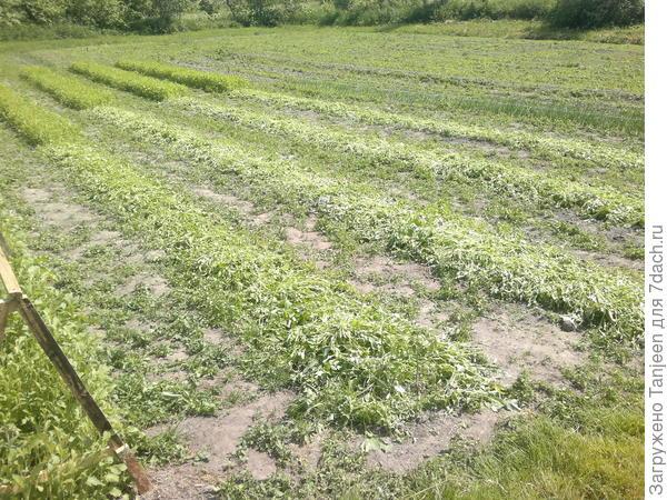 ...это так выглядит на 2 июня.скошена горица под томатные грядки...а вот вдалеке виден лук,который мы сейчас едим,а за ним по идее грядка заморско-кабачковая,но ее не видно)...