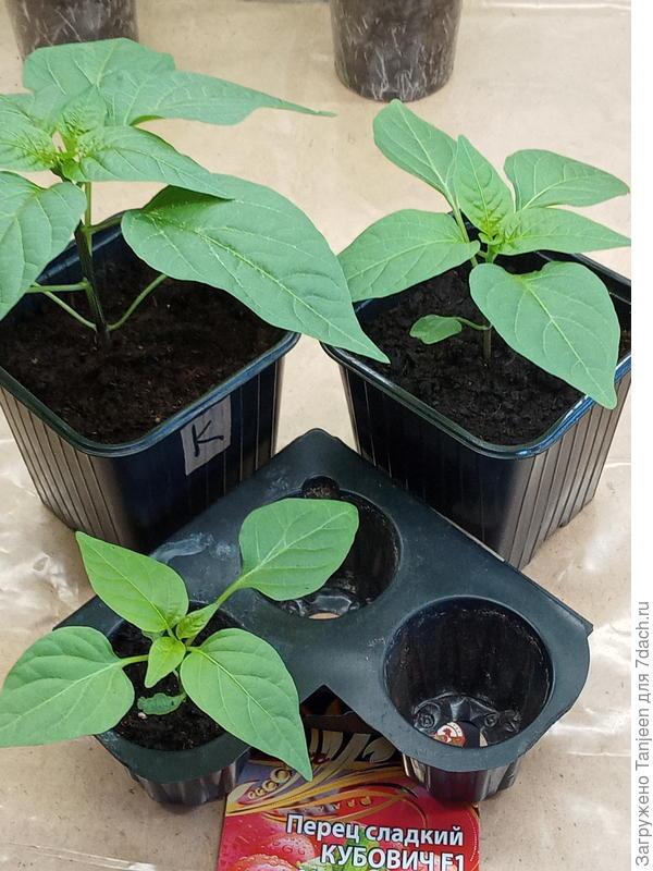 Тест-драйв грядко-огородный. Перцы: развитие и рост рассады. Часть вторая