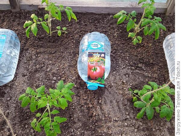Тест-драйв грядко-огородный. Томаты - движение вверх! Часть третья