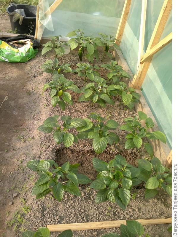 Тест-драйв грядко-огородный. Перцы в теплице: III этап - начинаем с плодоношения! Часть I