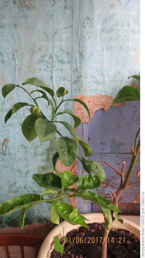 что это за комнатное декоративное растение?