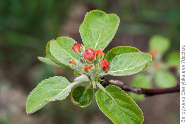 вот и яблоня скоро в розовое оденится