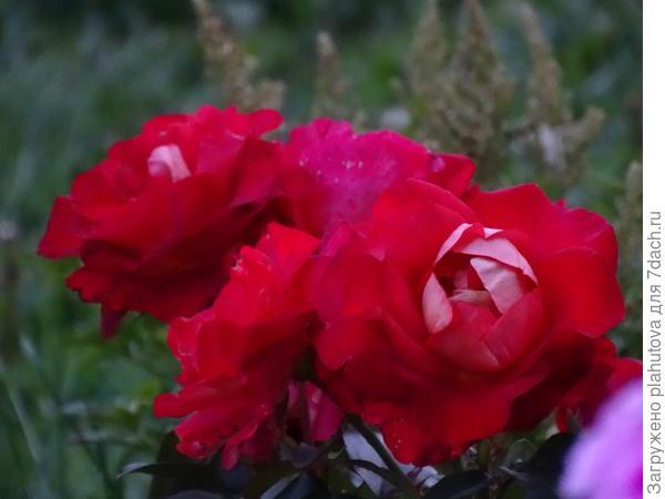 Красная красотка