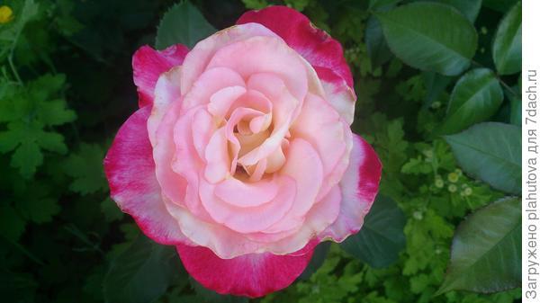 Названия роз не помню.