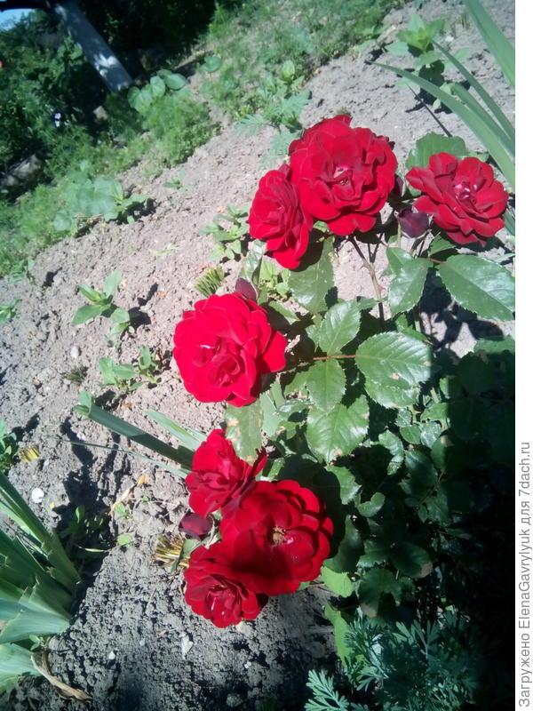 Здравствуйте, пожалуйста помогите определить сорт этой розы. Заказывала одну, а прислали вот эту. Цветёт долго, запах лёгкий. Спасибо.