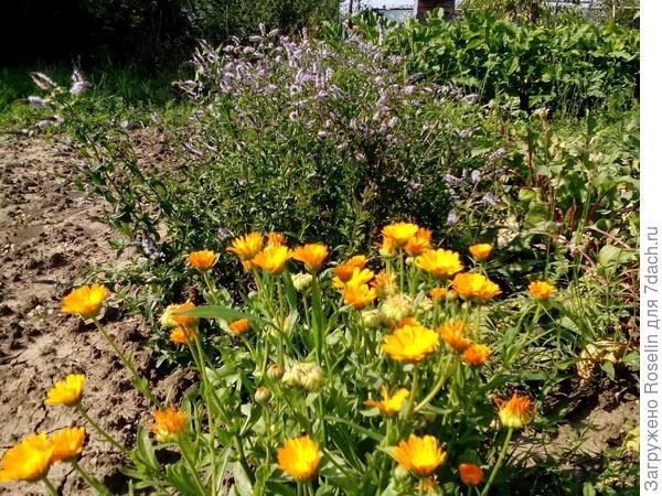 Не подозревала,что мята так красиво цветёт и хорошо сочетается с календулой,да и пчёл в огород привлекает