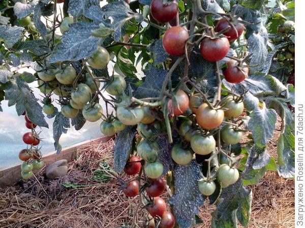 Кусты усыпаны плодами!