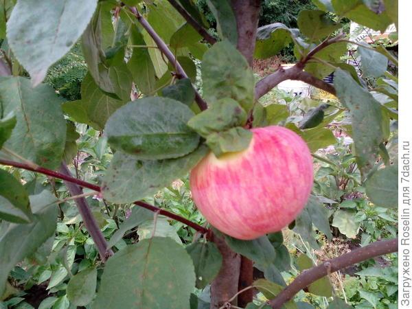 Первое яблочко,в начале августа созрело,кисло-сладкое.