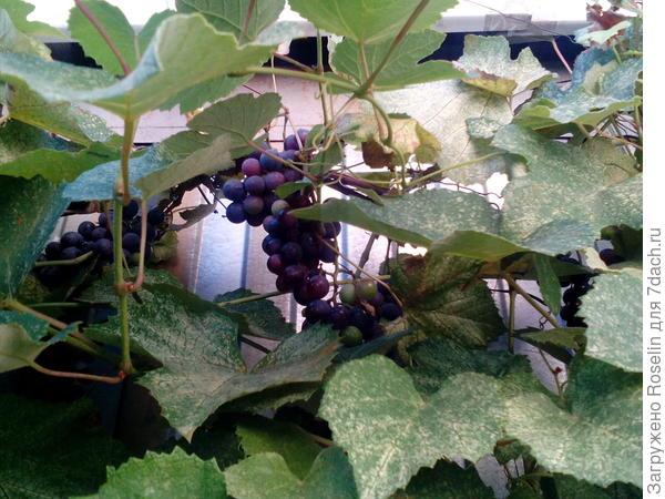 Виноград Изабелла порадовал урожаем впервые
