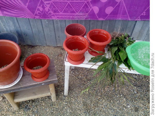 Подготовленные горшки и растения
