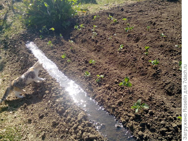 А это мы клубнику вместе посадили. Проверяет,хорошо ли поливаю.