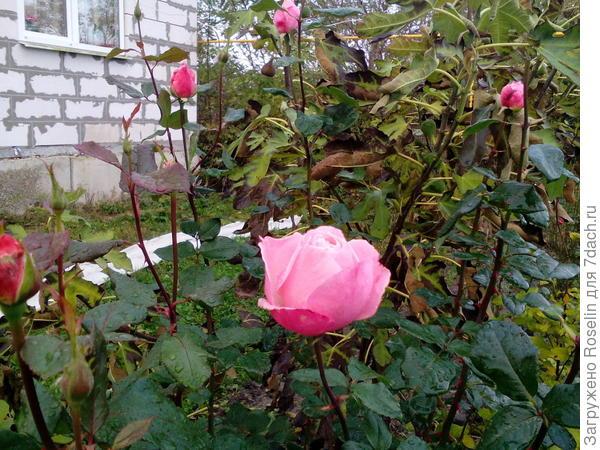 Эта роза - моя любимая,цветёт волнам всё лето и осень до самого снега. И в ноябре,сегодня, не даёт забыть о  лете.