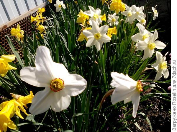 Нарциссы на ветру танцуют свой особый цветочный вальс.