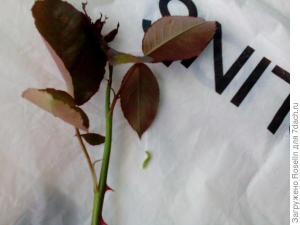 На розах завядшие бутоны, некоторые молодые побеги поедены. Какой это вредитель и как с ним бороться?