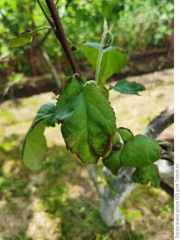 болезнь на яблоне