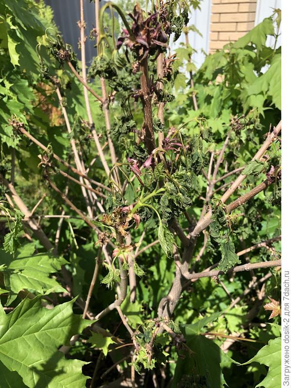 У клёна остролистного Глобозум отслоение коры на стволе. Как спасти дерево?