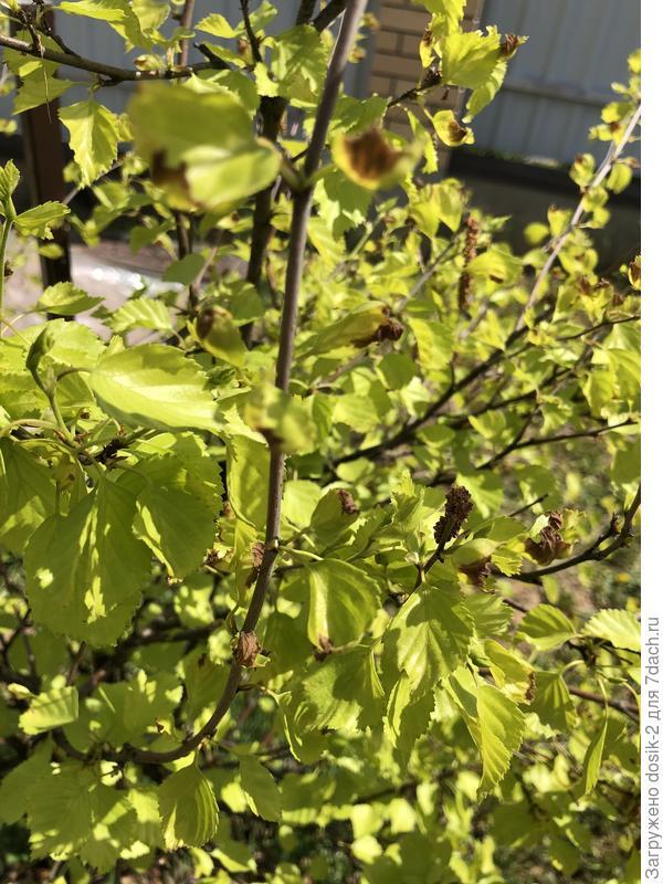 Почему на березе пушистой Ауреа (Aurea) подсыхают листья?