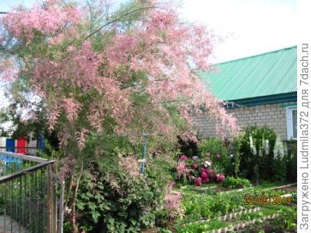 Цветет тамарикс