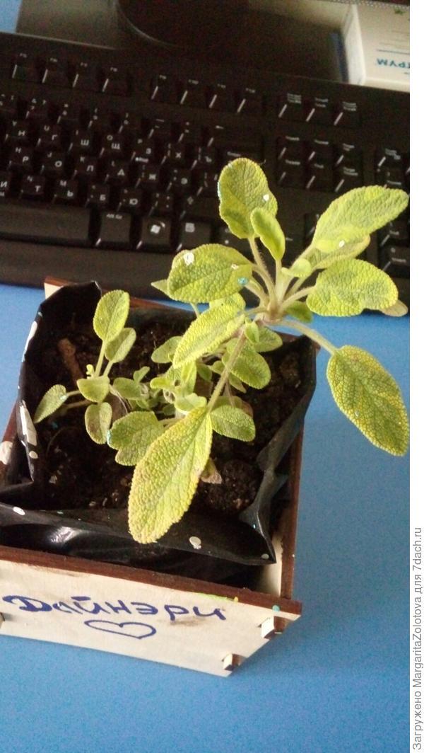 Подскажите, что за растениие? вчера на праднике получила в подарок его, но забыла спросить название.